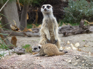 meerkat paying attention